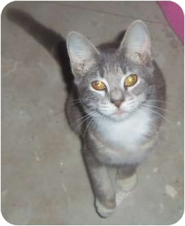 Domestic Shorthair Kitten for adoption in Orlando, Florida - Kitten3