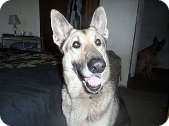 German Shepherd Dog Dog for adoption in Green Cove Springs, Florida - Britta