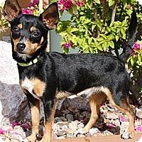 Adopt A Pet :: Muffler - Gilbert, AZ
