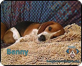 Beagle Dog for adoption in Yardley, Pennsylvania - Benny