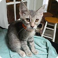 Adopt A Pet :: Portabella - The Colony, TX