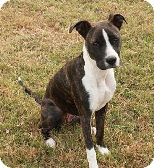 Boxer Mix Puppy for adoption in Brattleboro, Vermont - Annie