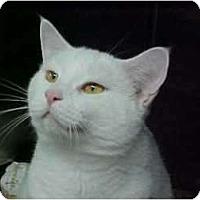 Adopt A Pet :: Q-tip - Lunenburg, MA