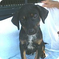 Adopt A Pet :: Flash - Russellville, AR