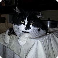 Adopt A Pet :: Orie - Laguna Woods, CA