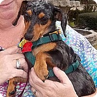 Adopt A Pet :: Portia - Bryan, TX