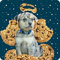 Adopt A Pet :: Rah Rah Raisin - Austin, TX