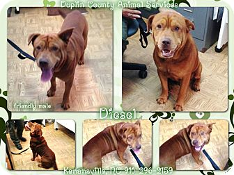 Labrador Retriever/Shar Pei Mix Dog for adoption in Kenansville, North Carolina - DIESEL