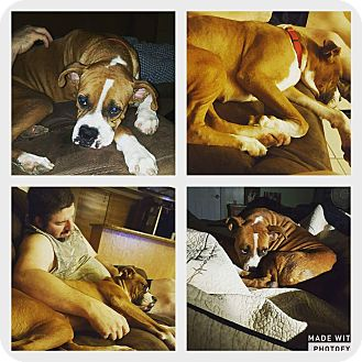 Boxer Dog for adoption in Austin, Texas - Starlene