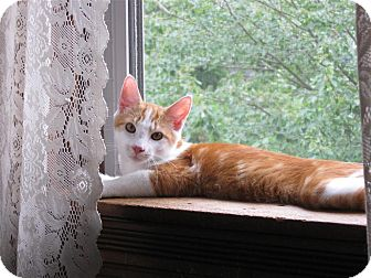 Domestic Shorthair Cat for adoption in Richboro, Pennsylvania - Rupert Grint