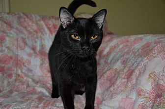 Domestic Shorthair Cat for adoption in Houston, Texas - Picasso