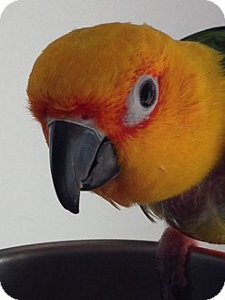 Conure for adoption in Asheville, North Carolina - FruitLoop