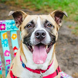 Boxer/Shepherd (Unknown Type) Mix Dog for adoption in Houston, Texas - George