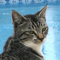 Domestic Shorthair Cat for adoption in Mobile, Alabama - Speck