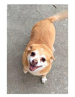 Chihuahua Mix Dog for adoption in Lodi, California - Snoop