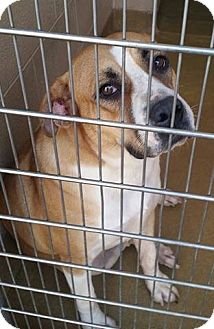 Boxer Mix Dog for adoption in Williamsport, Pennsylvania - Claire Bear