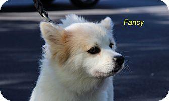 Spitz (Unknown Type, Small) Mix Dog for adoption in Alpharetta, Georgia - Fancy