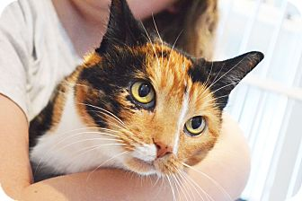 Domestic Shorthair Cat for adoption in Lincoln, Nebraska - Little Cat