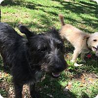 Adopt A Pet :: Sweet Pea - Boerne, TX