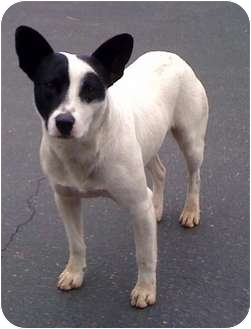 Staffordshire Bull Terrier/Pit Bull Terrier Mix Dog for adoption in Fowler, California - KC