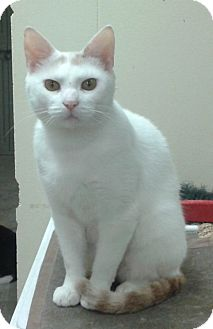 Domestic Shorthair Cat for adoption in Hopkinsville, Kentucky - Nugget