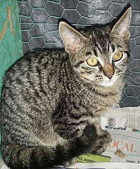 Domestic Shorthair Kitten for adoption in Ocala, Florida - Sunny *6 mo