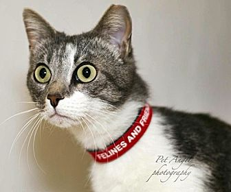 Domestic Shorthair Cat for adoption in Santa Fe, New Mexico - Luci Lu