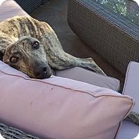 Adopt A Pet :: Roonie - Tucson, AZ