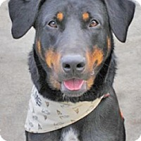 Labrador Retriever/Rottweiler Mix Dog for adoption in Denver, Colorado - Santo