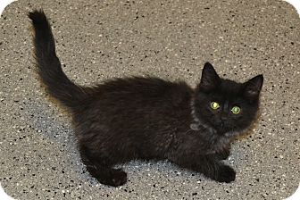 Domestic Mediumhair Kitten for adoption in Michigan City, Indiana - Mayo
