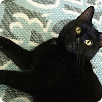 Domestic Shorthair Cat for adoption in Austintown, Ohio - Anna