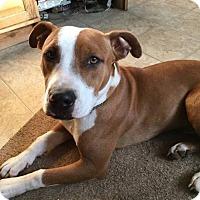 Adopt A Pet :: Bernie, A lab Boxer mix Boy 9 mths - Arlington, WA