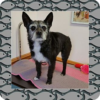 Cairn Terrier/Wirehaired Fox Terrier Mix Dog for adoption in Mentor, Ohio - SCAMP***5-6 yrs old & 18 LBS!!