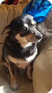 Chihuahua Dog for adoption in Indianapolis, Indiana - BELLA
