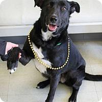 Adopt A Pet :: Lady Lucy - Yukon, OK