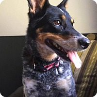 Adopt A Pet :: Roxie - Mattoon, IL