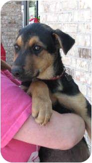 German Shepherd Dog/Anatolian Shepherd Mix Puppy for adoption in Arlington, Texas - Susan