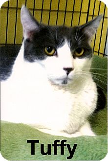 Domestic Shorthair Cat for adoption in Medway, Massachusetts - Tuffy