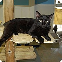 American Shorthair Cat for adoption in Jackson, Mississippi - Igor