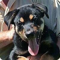 Adopt A Pet :: Bentley - white settlment, TX