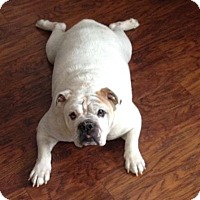 Adopt A Pet :: Pudgie - Strongsville, OH
