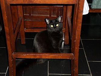 Domestic Mediumhair Cat for adoption in Walnut Creek, California - Lilo