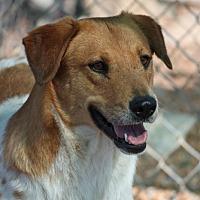 Adopt A Pet :: Cattle Kate (Video) - Hooksett, NH