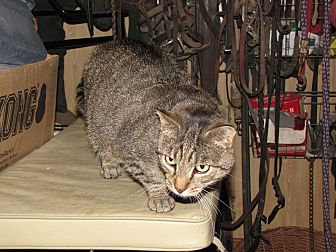 Domestic Shorthair Cat for adoption in Millerstown, Pennsylvania - PAVILION