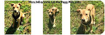 Labrador Retriever Mix Puppy for adoption in Siler City, North Carolina - Rocco