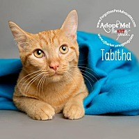 Domestic Shorthair Cat for adoption in Pearland, Texas - Tabitha