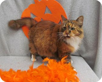 Domestic Longhair Cat for adoption in Waldorf, Maryland - Marmalade