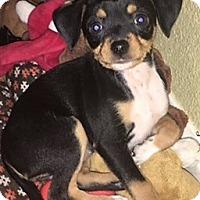 Adopt A Pet :: Zora - Oakley, CA