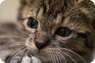 Domestic Shorthair Kitten for adoption in Houston, Texas - BODHI