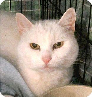 Domestic Shorthair Cat for adoption in Plainville, Massachusetts - Ashes